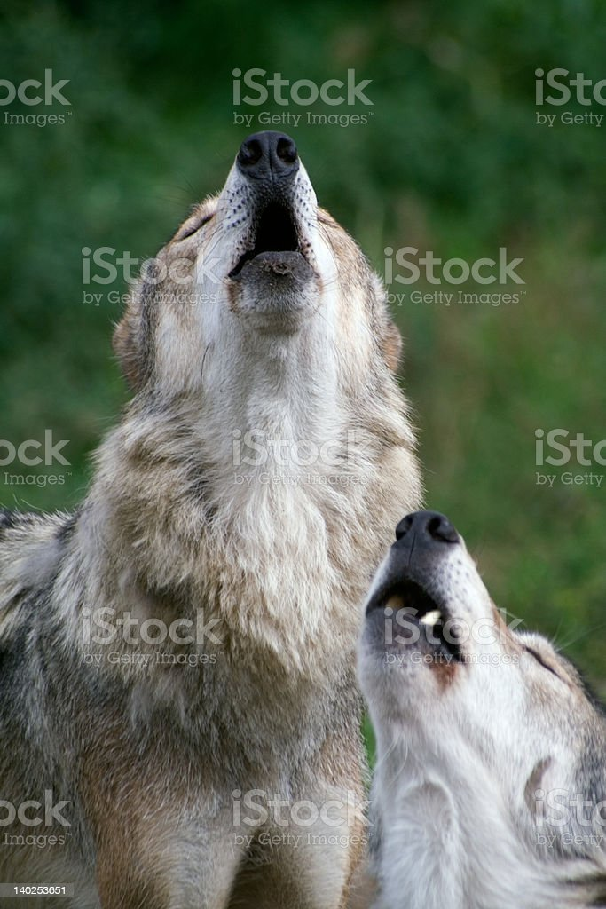 wolfs howl stock photo