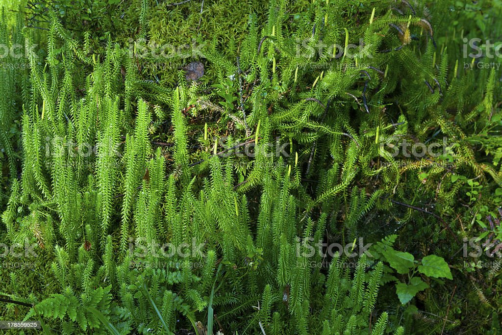 Wolf's-foot clubmoss (Lycopodium Clavatum) close up stock photo