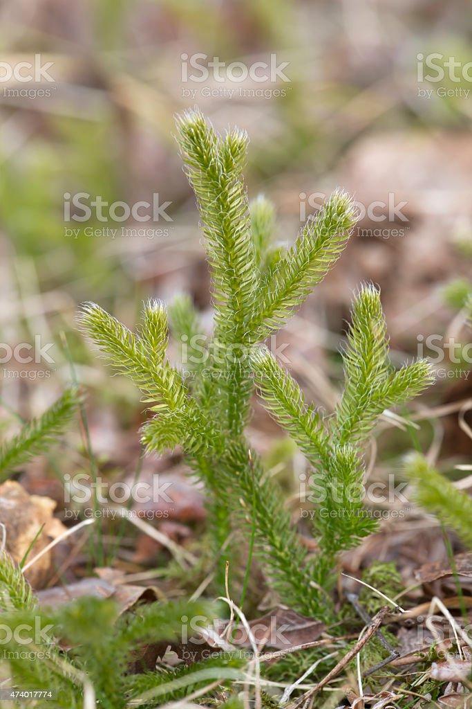 Wolf's-foot clubmoss, Lycopodium clavatum growth stock photo