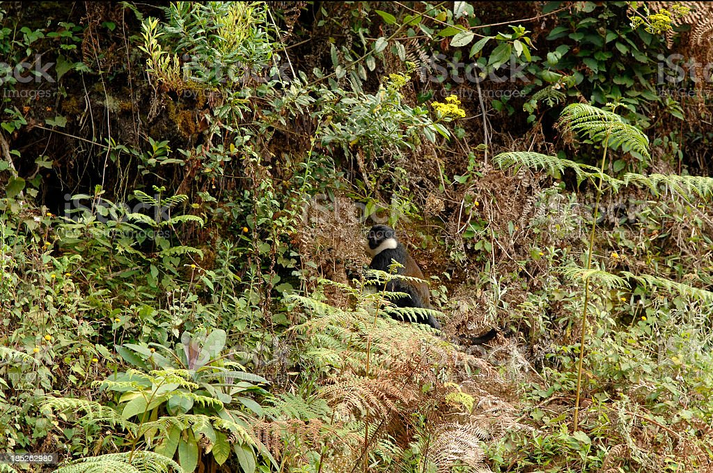 Wolly Monkey in the Nyungwe forest - Rwanda stock photo