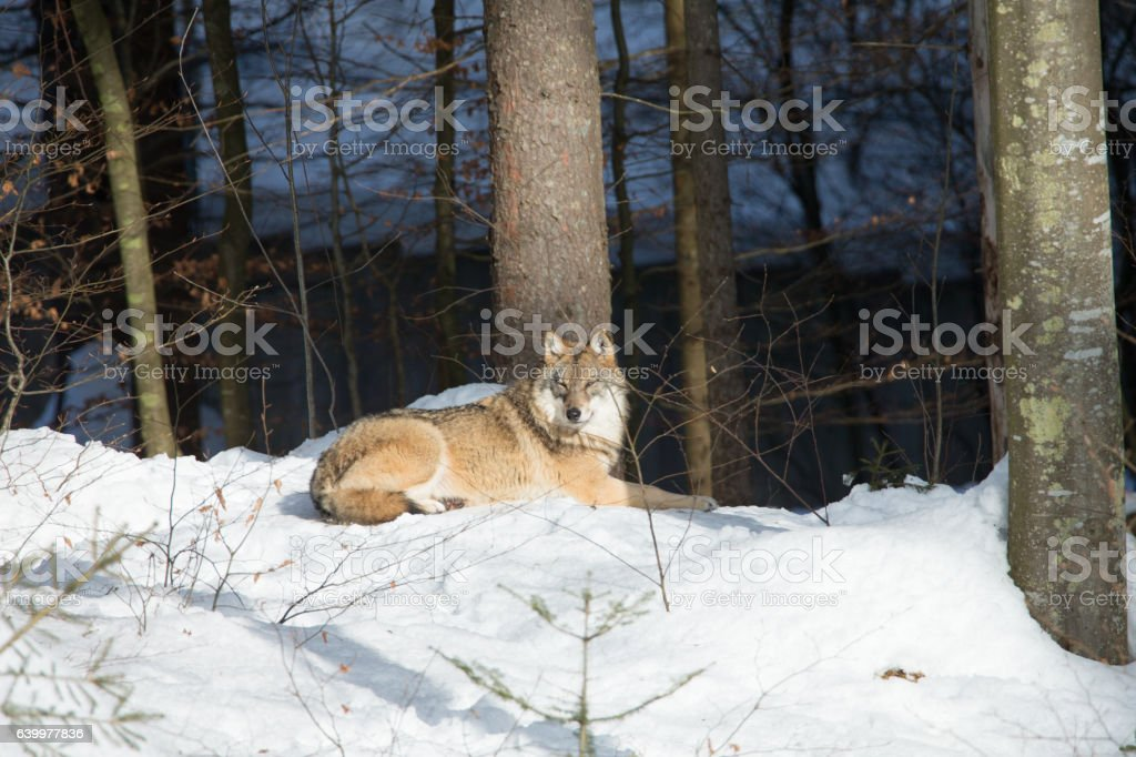 Wolve in winter landscape stock photo