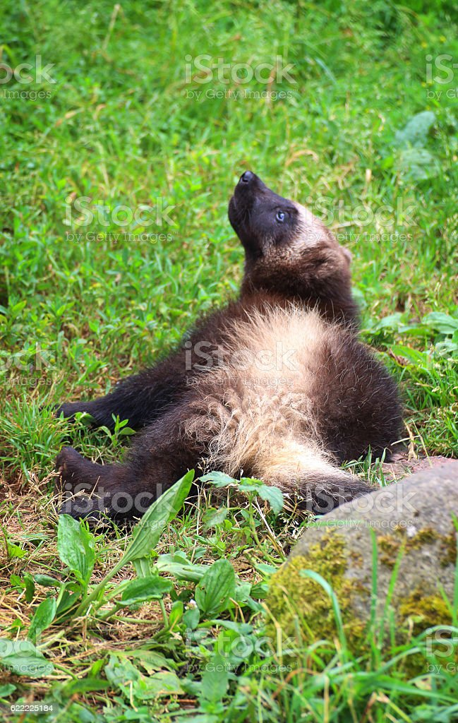 Wolverine baby stock photo