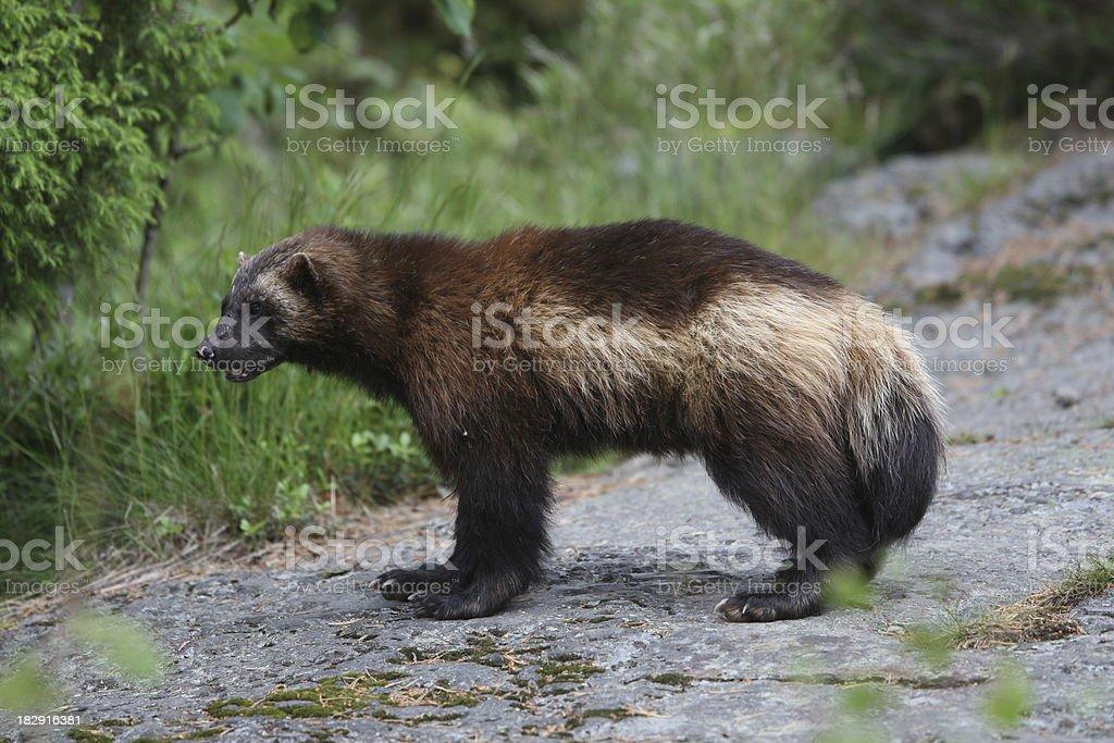 Wolverine Closeup stock photo