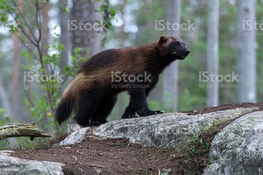Wolverine (Gulo gulo) in a forest in Northern Finland stock photo
