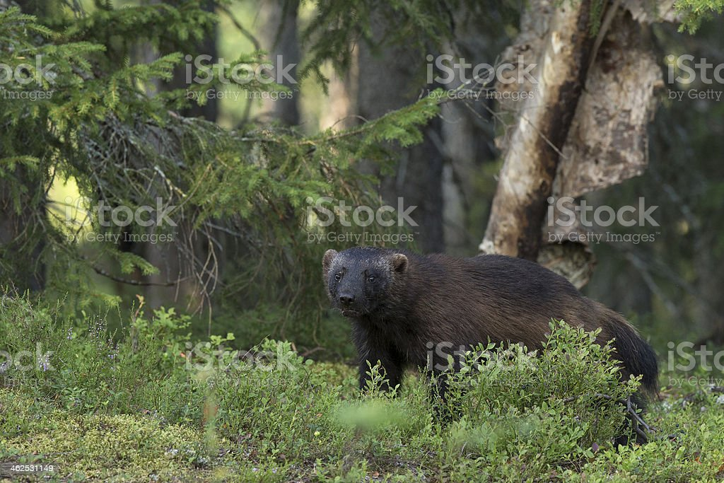 Wolverine in forest stock photo