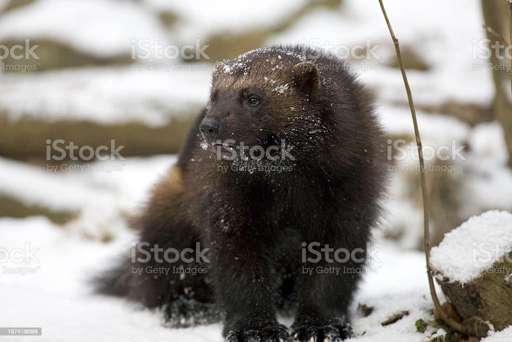 Wolverine (G. gulo) in snow stock photo