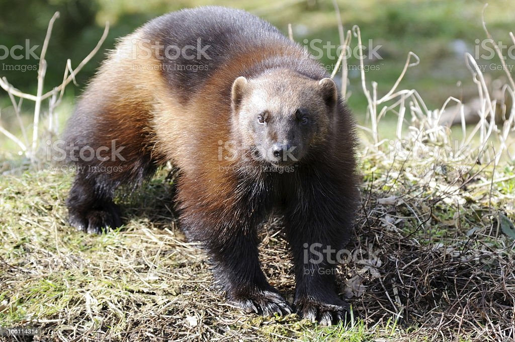 Wolverine in sunshine stock photo