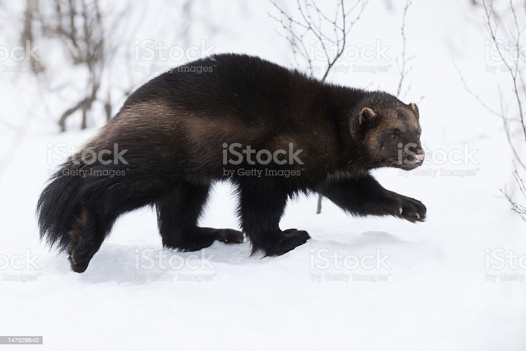 Wolverine in the snow stock photo