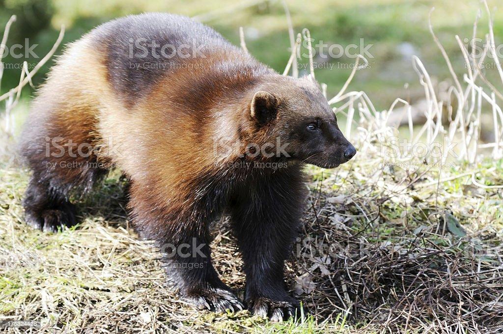 Wolverine in wild stock photo