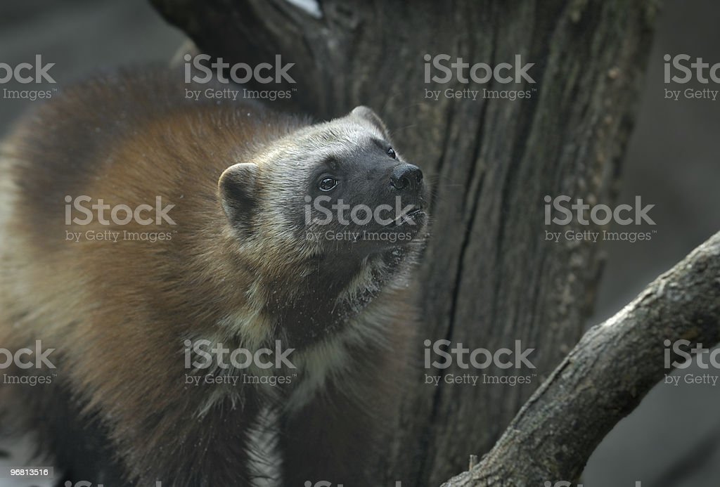 Wolverine Next to Branch royalty-free stock photo