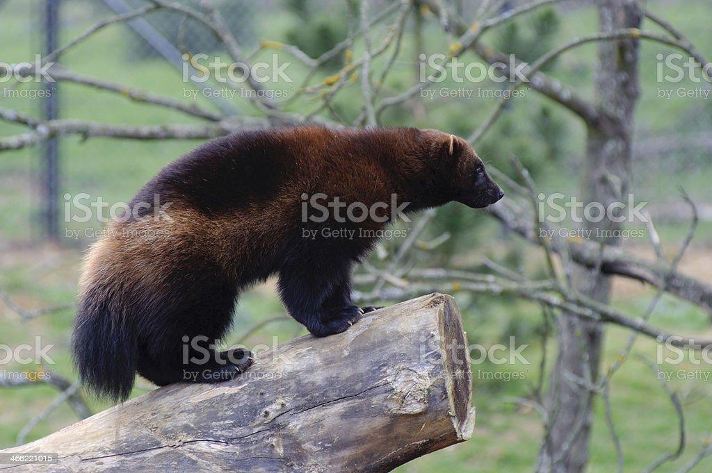 Wolverine on log stock photo