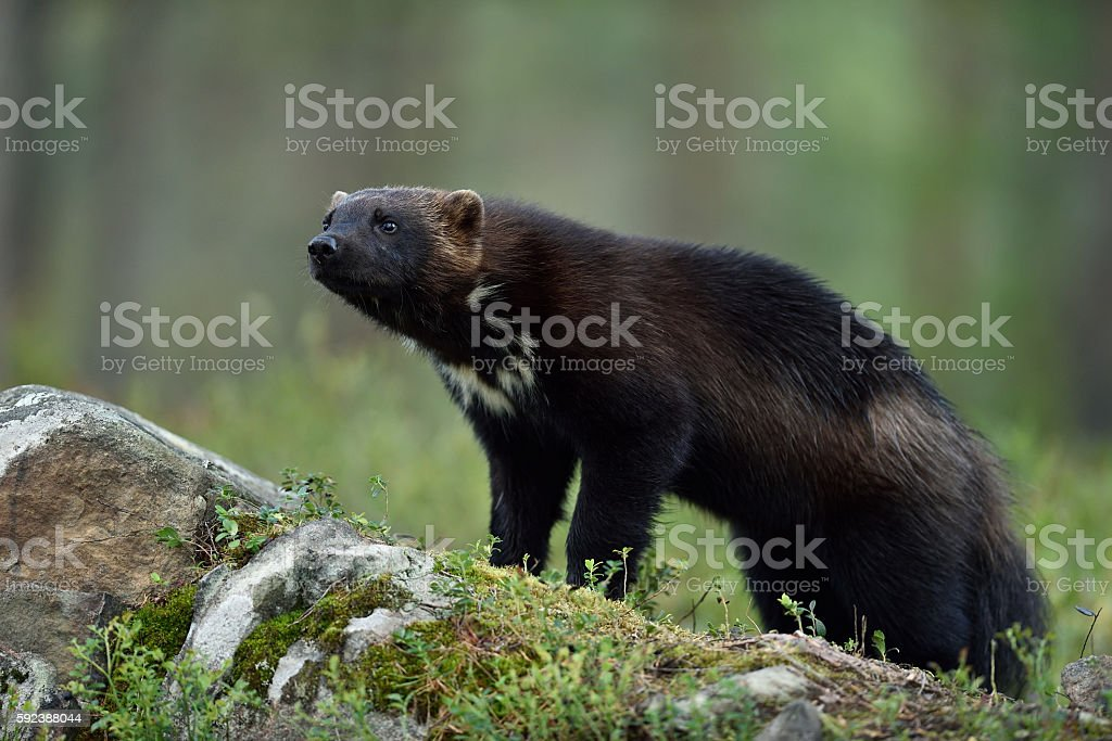wolverine (Gulo gulo) on stone in forest stock photo