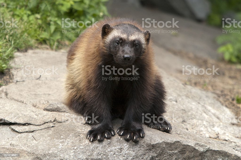 Wolverine (G. gulo) stock photo