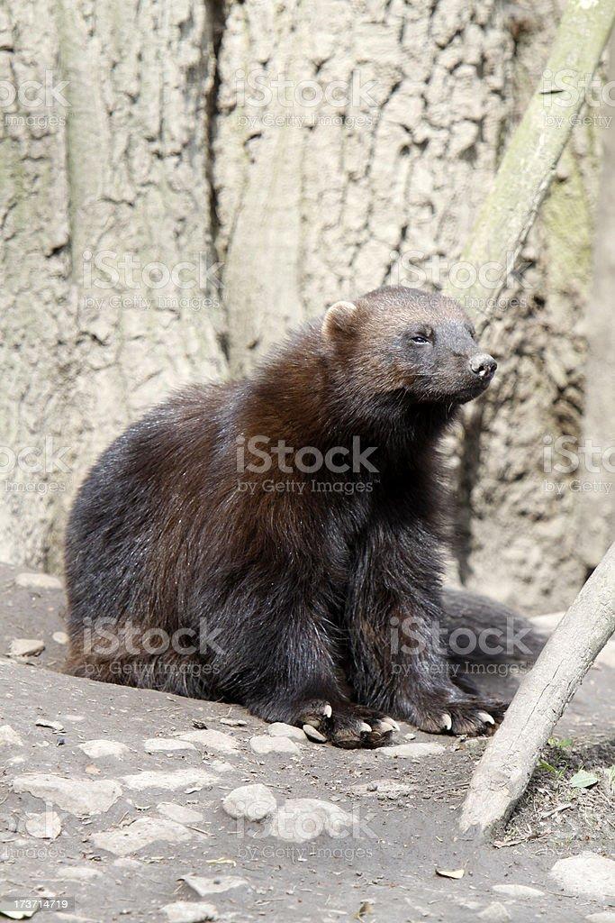 Wolverine royalty-free stock photo