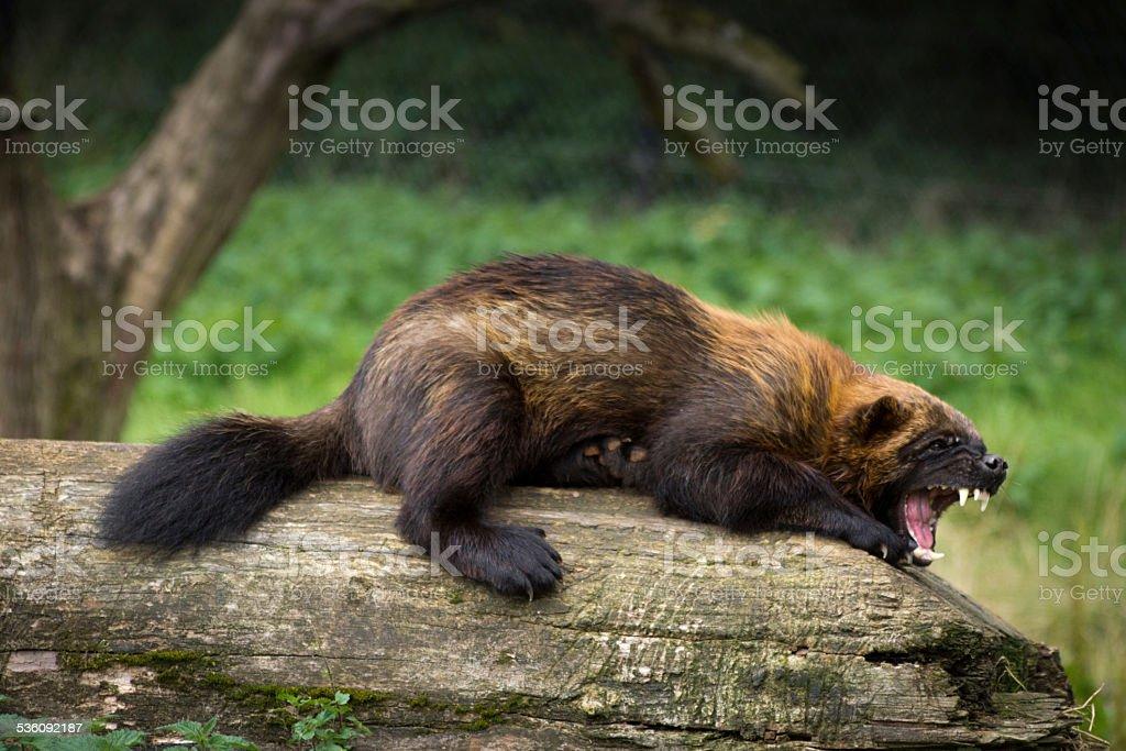 Wolverine stock photo