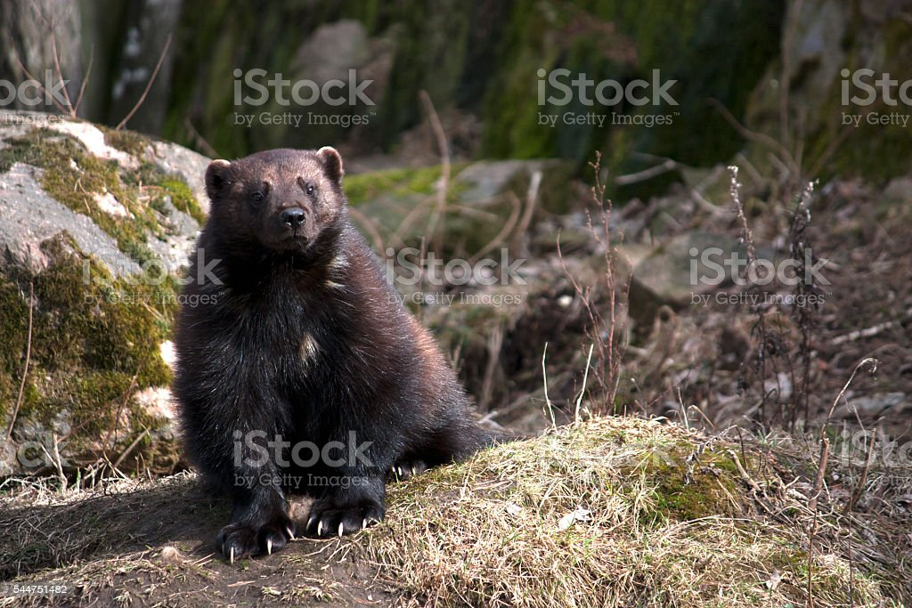 Wolverine stock photo