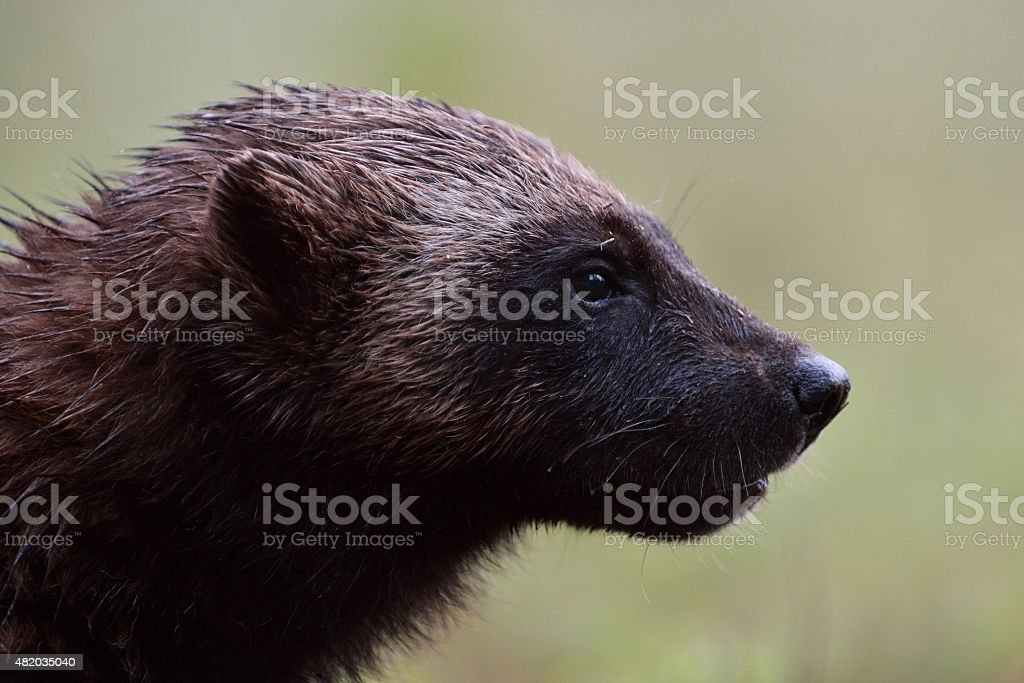 Wolverine portrait stock photo