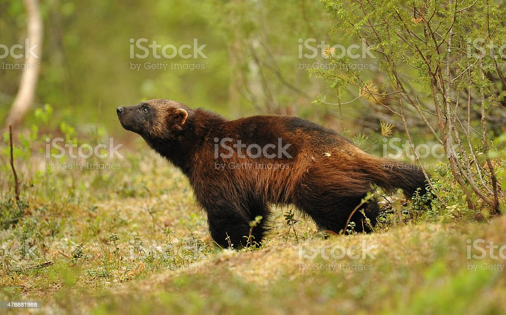 Wolverine sniffing the air - Finland. stock photo