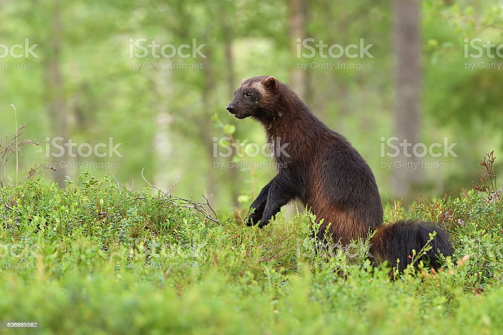 wolverine standing in a forest landscape stock photo