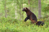 wolverine standing in a forest landscape