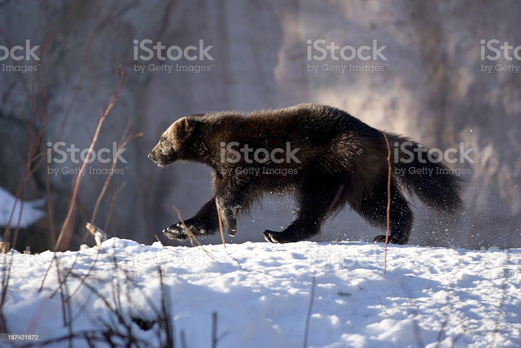 Wolverine walking in snow (G. gulo) stock photo