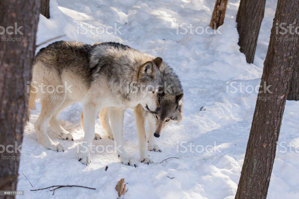 wolves alpha couple stock photo