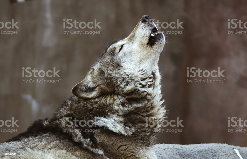 Wolves howl royalty-free stock photo