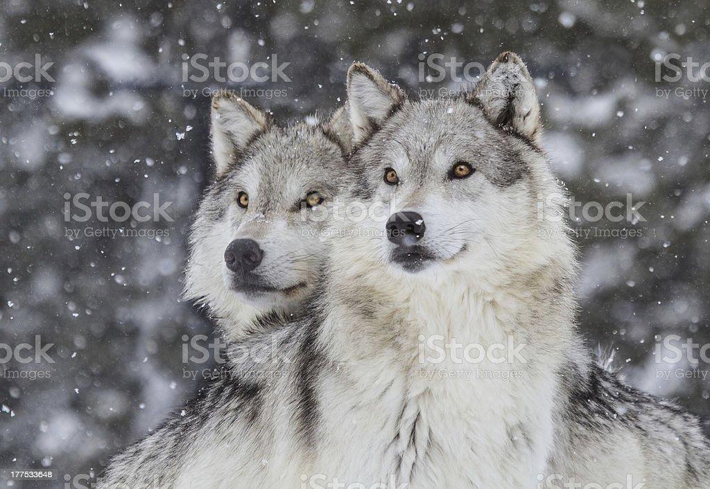 Wolves in Snow  (Canus Lupus) stock photo