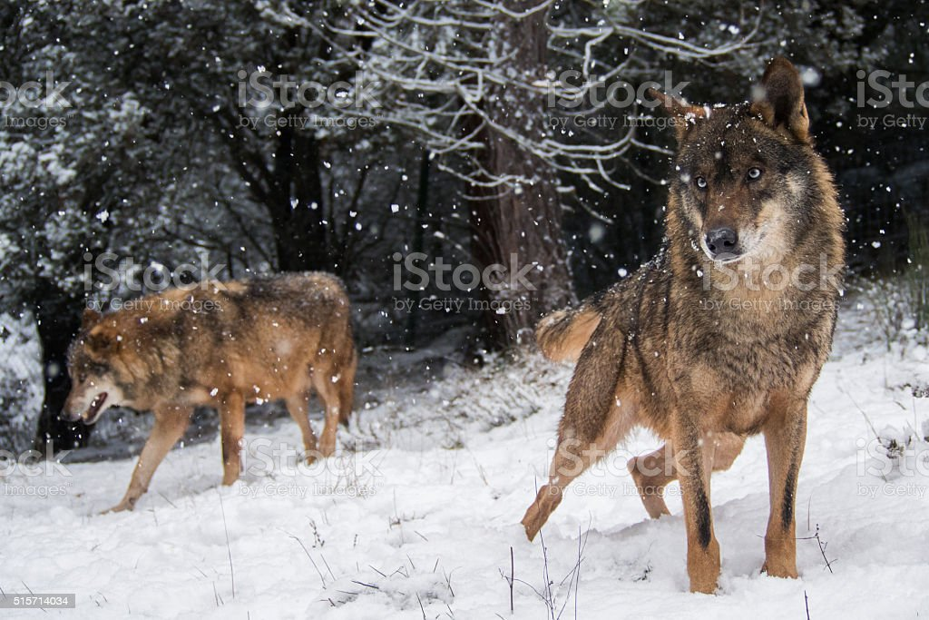 Wolves in the snow in winter stock photo