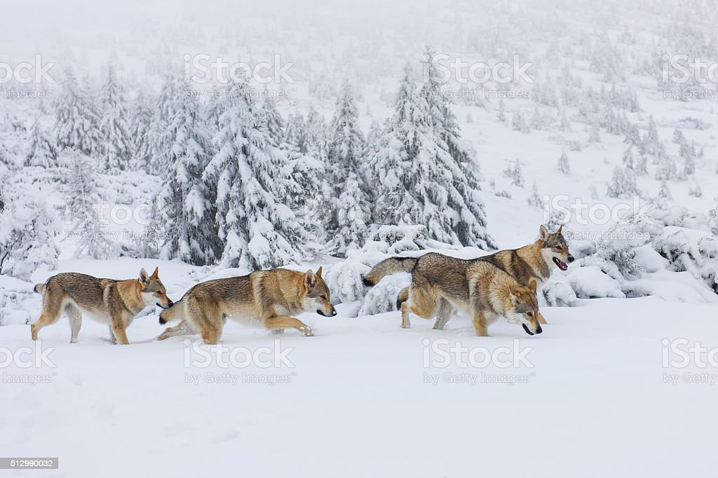 Wolves In The Snow stock photo