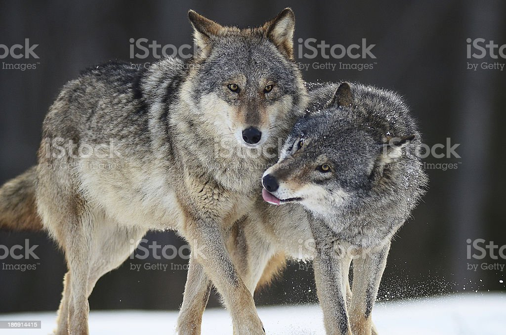 Wolves in winter stock photo