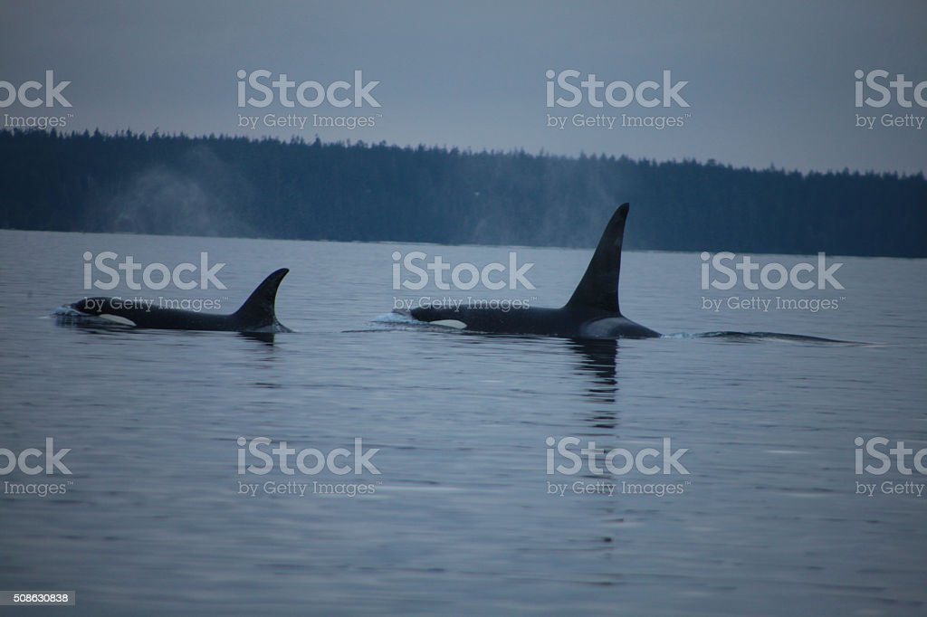 Wolves of the Sea stock photo