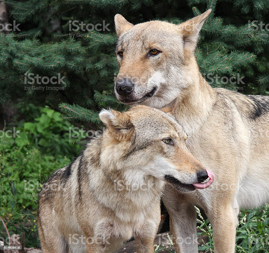 Wolves royalty-free stock photo