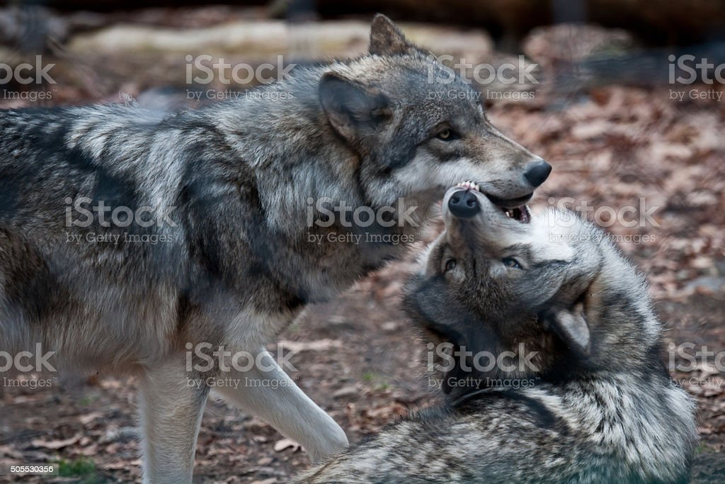 Wolves Playing stock photo