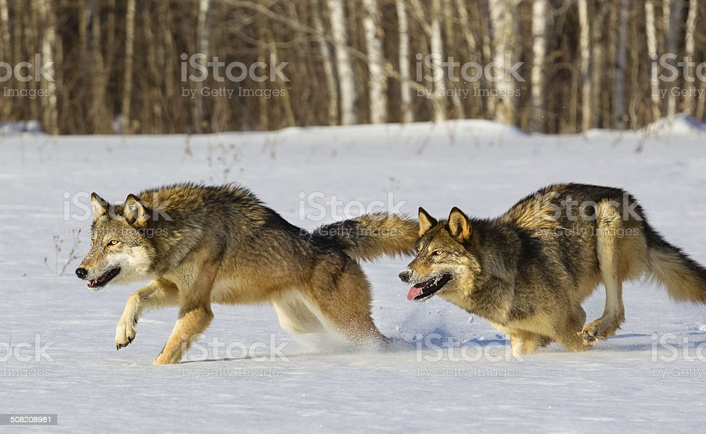 Wolves Running in Winter stock photo