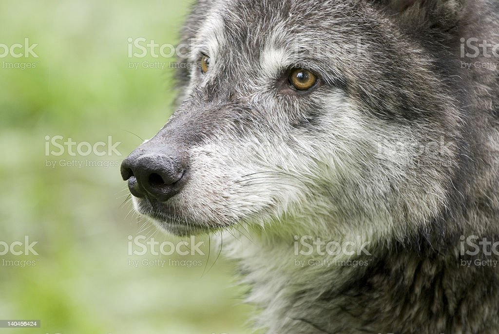 Wolves122 stock photo