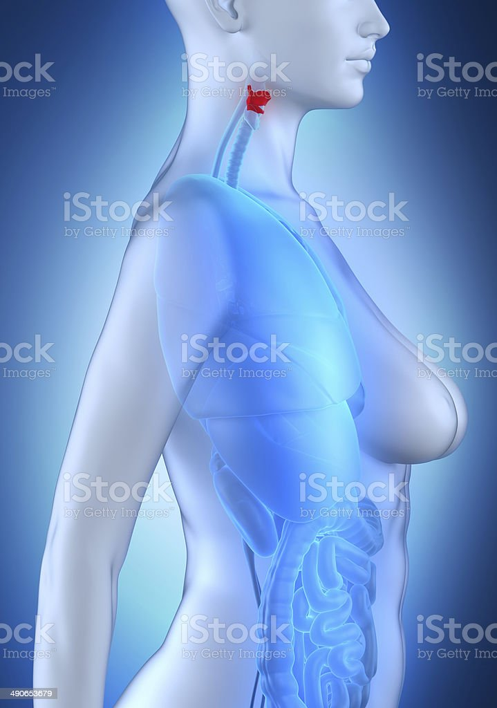 Womaan larynx anatomy white lateral view royalty-free stock photo