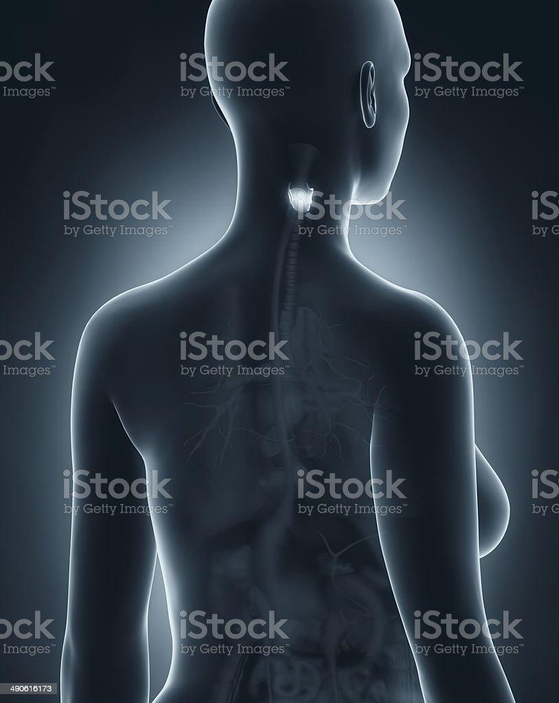 Womaan larynx anatomy x-ray black posterior view royalty-free stock photo