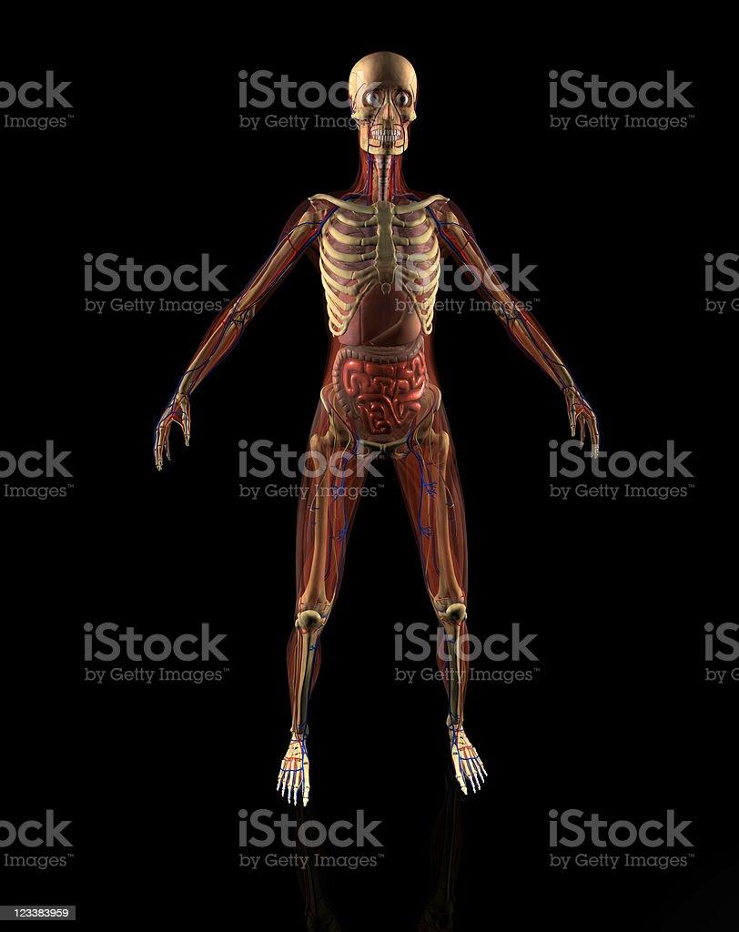 Woman Anatomy royalty-free stock photo