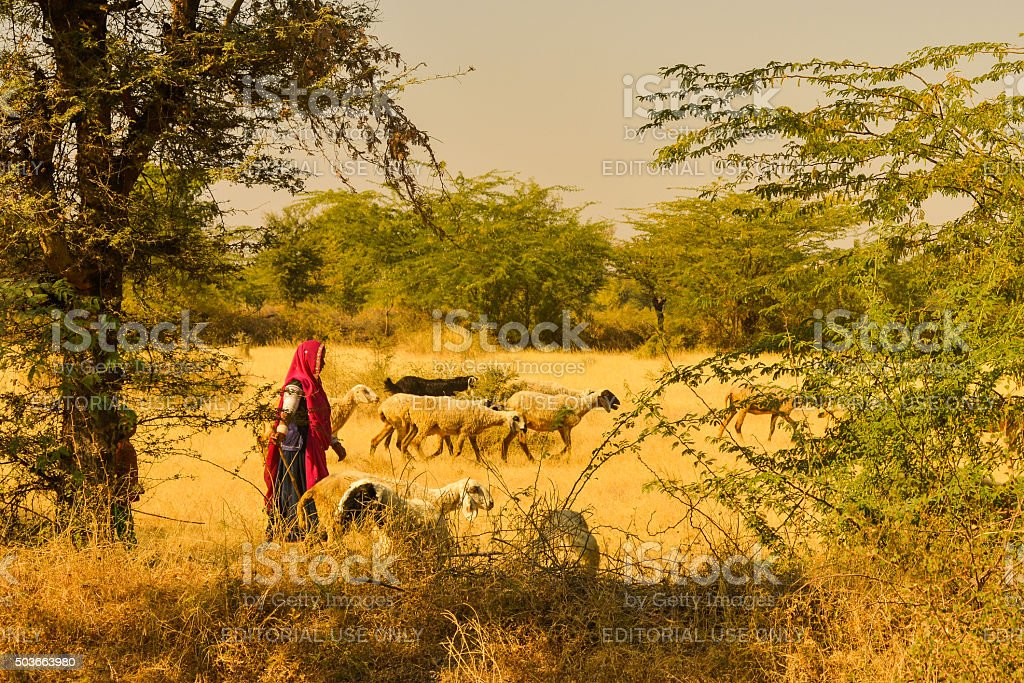 Woman and Child Herding Sheep in a Field in India stock photo