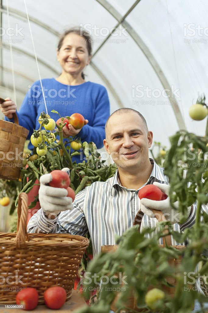 Woman and man in tomato plant royalty-free stock photo