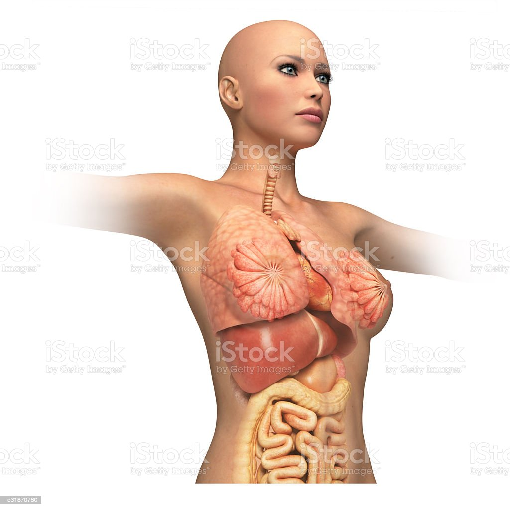 Woman body trunk, with interior organs superimposed. stock photo