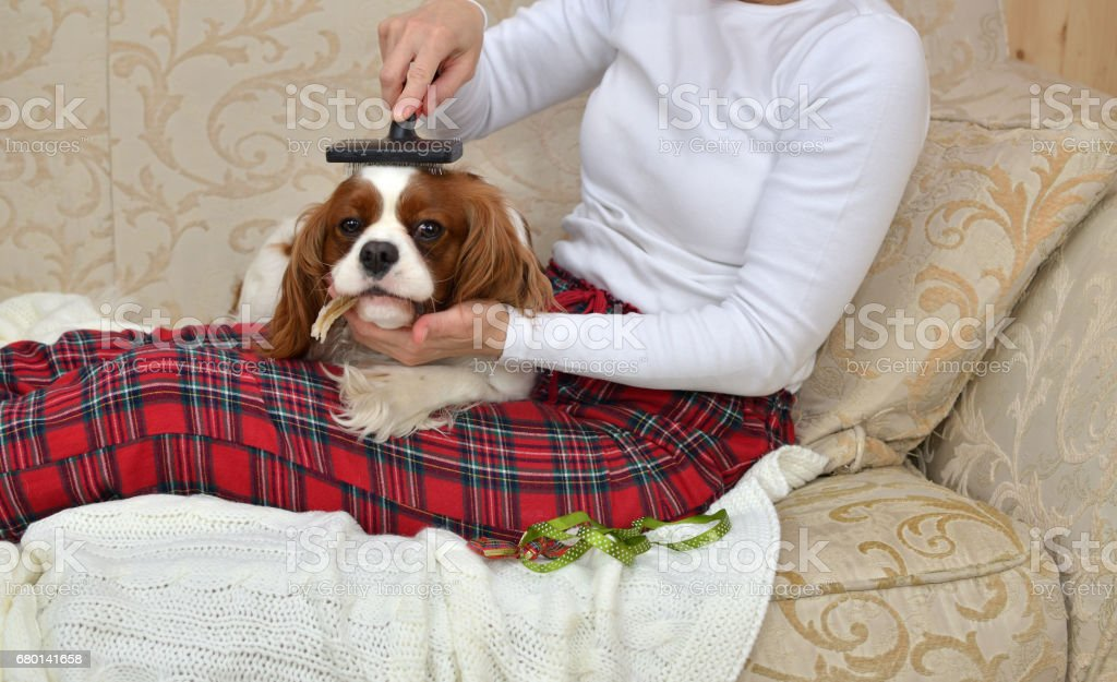 Woman sitting on a sofa and brushing her lovely pet Cavalier King...