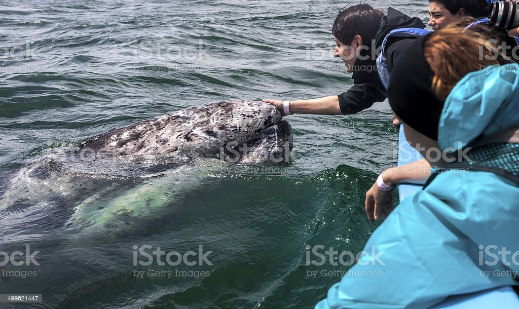 Woman Caressing A Gray Whale stock photo