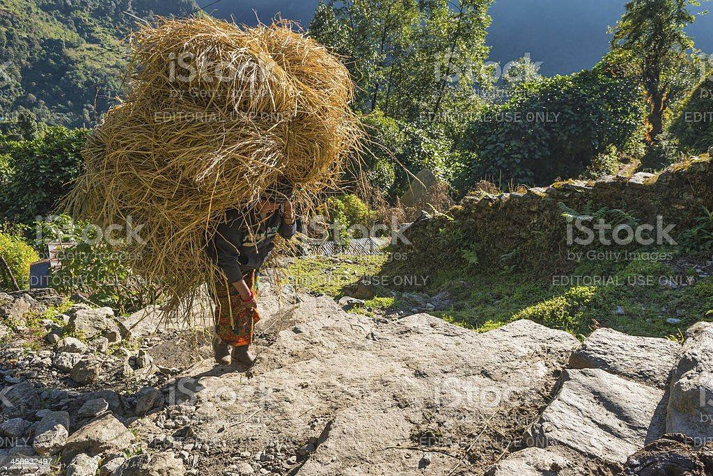 Woman carrying hay in Annapurna village Himalayas Nepal stock photo