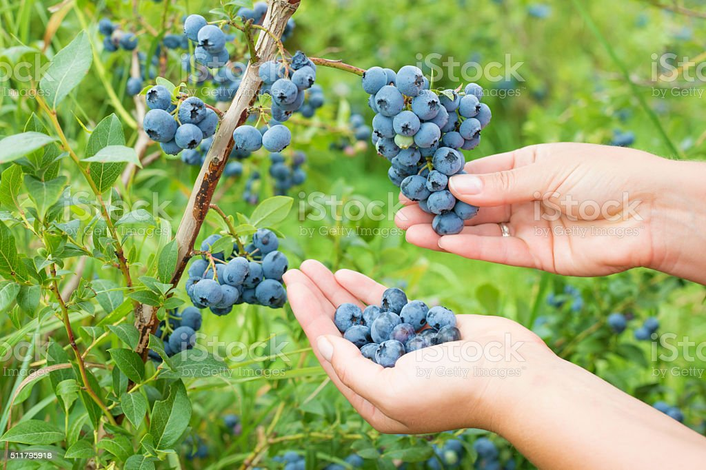 Woman collecting blueberries stock photo