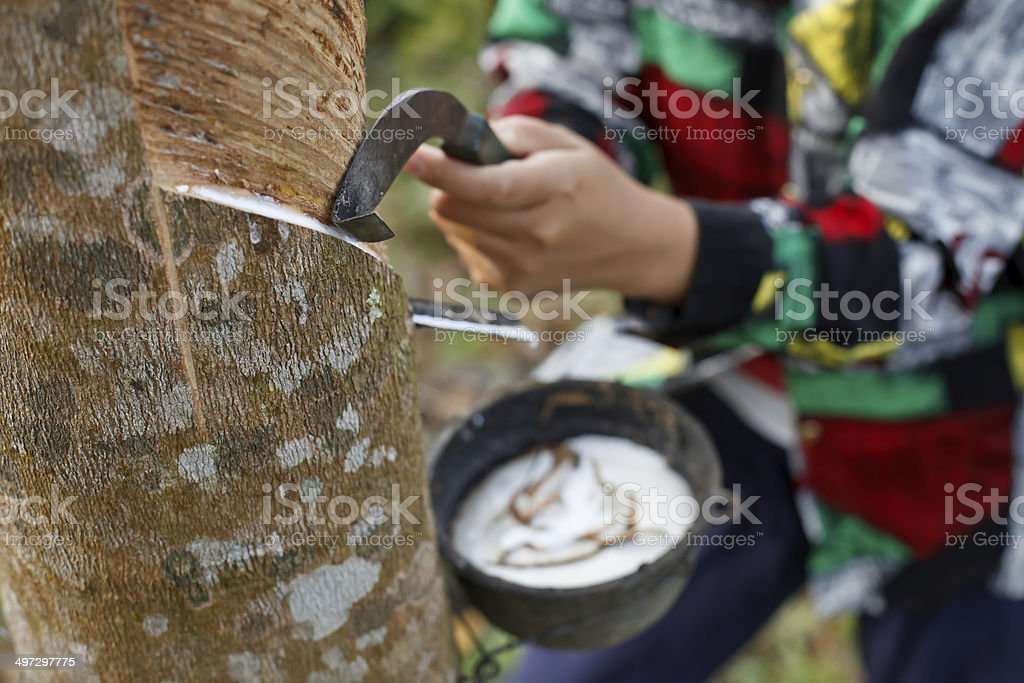 Woman collecting latex on the rubber tree stock photo