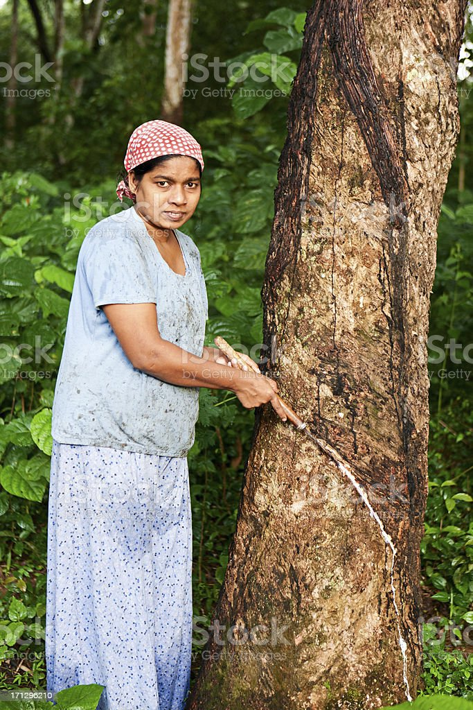 Woman collecting latex on the rubber tree plantation, Sri Lanka royalty-free stock photo