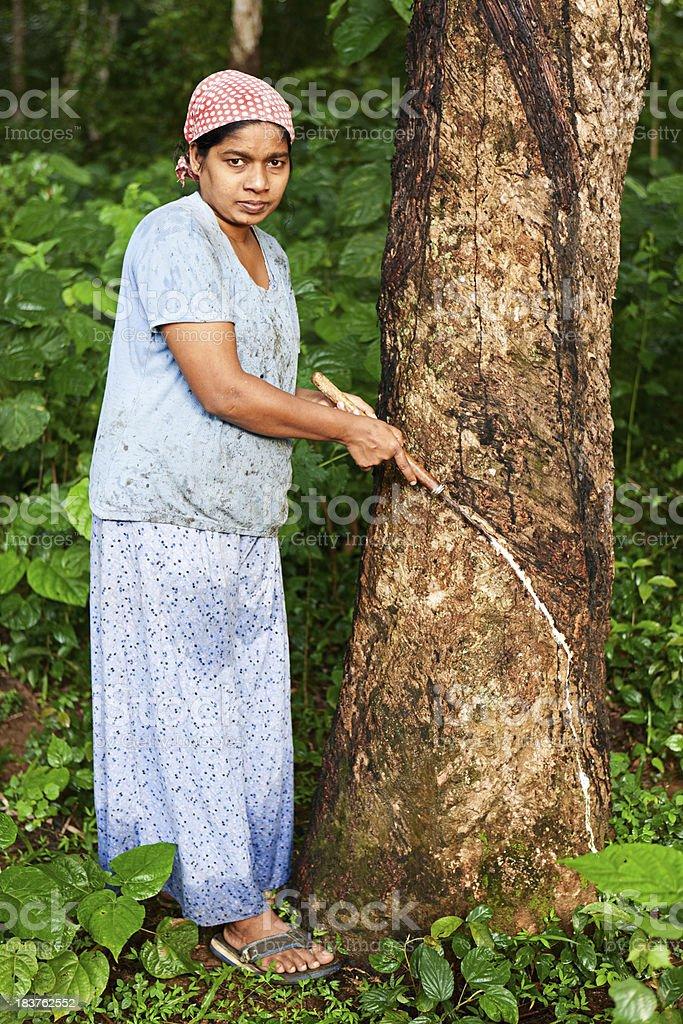 Woman collecting latex on the rubber tree plantation, Sri Lanka royalty-free stock photo