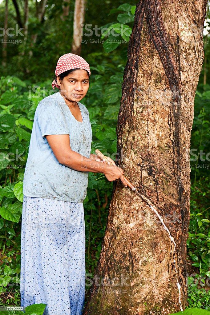 Woman collecting latex on the rubber tree plantation, Sri Lanka stock photo